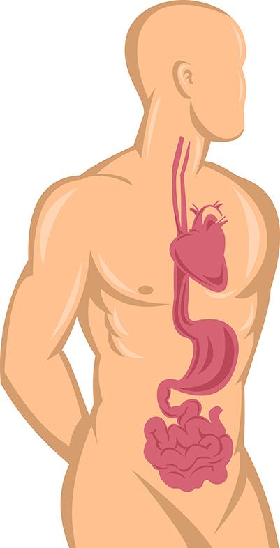 Здрава храносмилателна система